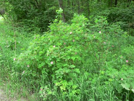 Рис. 2. Шиповник в Оброшинском лесопарке (фото Семеновой Н.А.)
